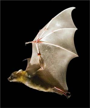 A Bat - Cute Little Fella